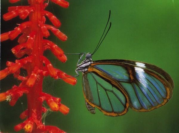 glasswingbutterfly12