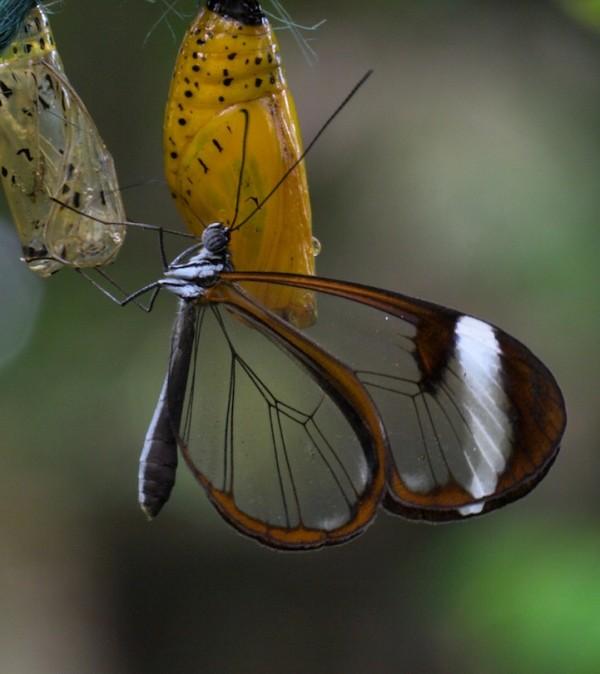 glasswingbutterfly13