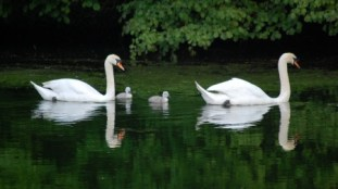 Swans and cygnets at the Lakes in the Three Brooks Local Nature Reserve, Bradley Stoke, Bristol.