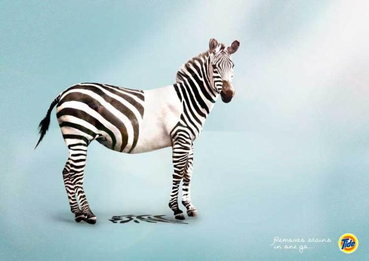 tide_zebra_aotw