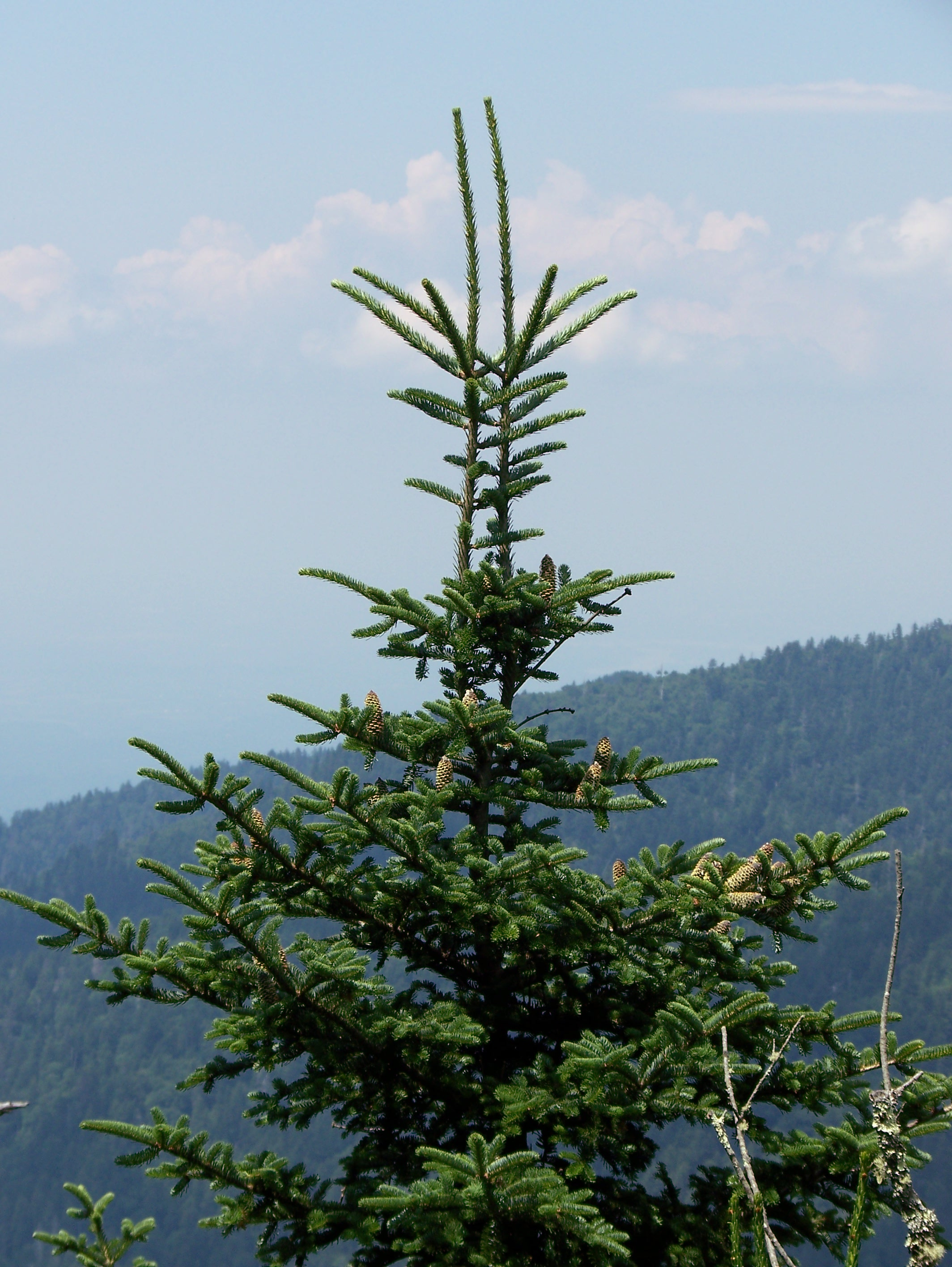 The Year of the Fir Cone