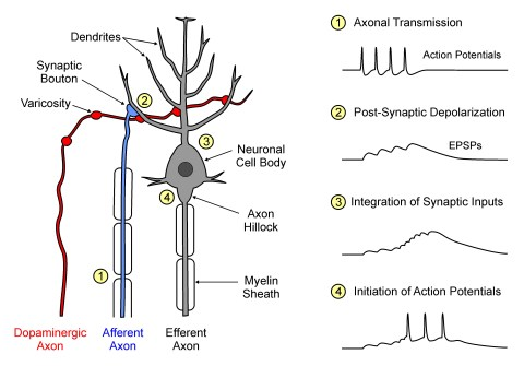 cortical connections color