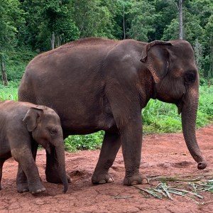 Asian elephant and calf Patara Thailand Asian elephant facts