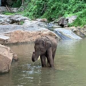 Asisn elephant Patara thailand