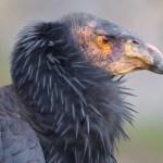 california condor head