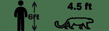 Amur Leopard size