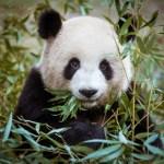 Giant panda with bamboo