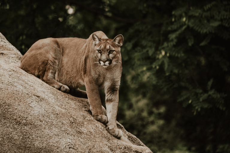Mountain Lion at Grizzly Gulch