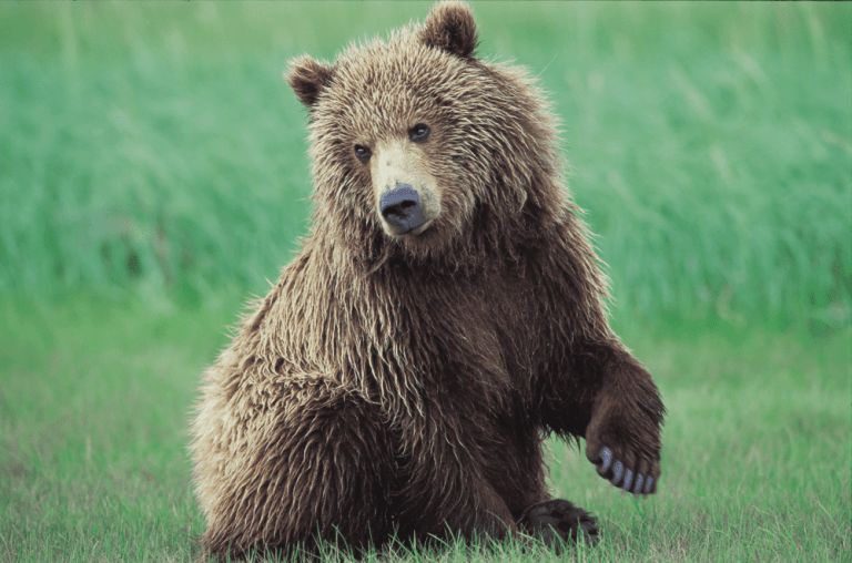 Brown Bear at Grizzly Gulch