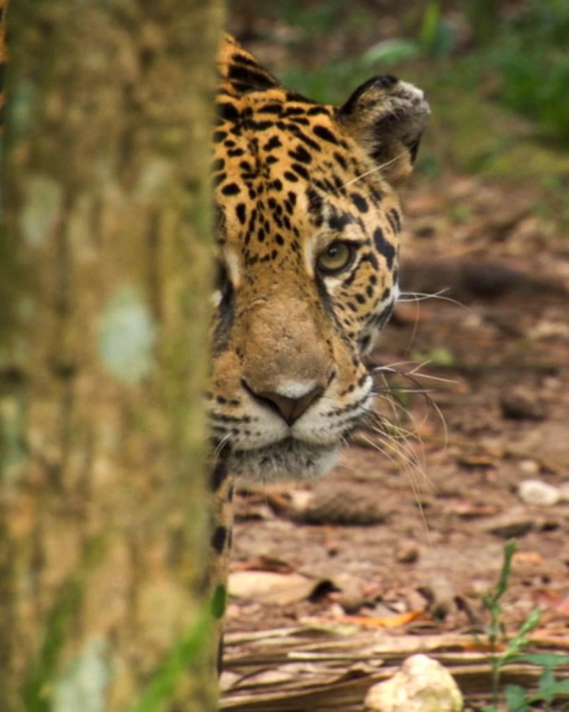 Jaguar Peeking Out