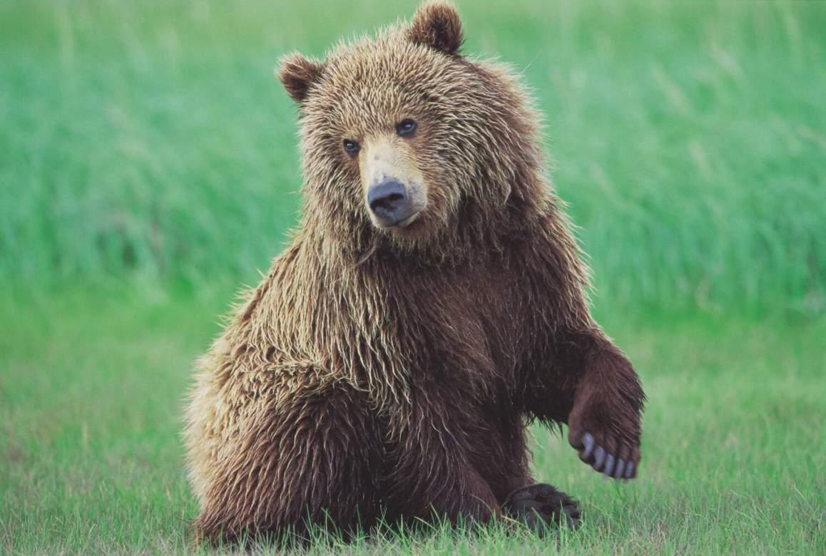 Grizzly Cub in Alaska