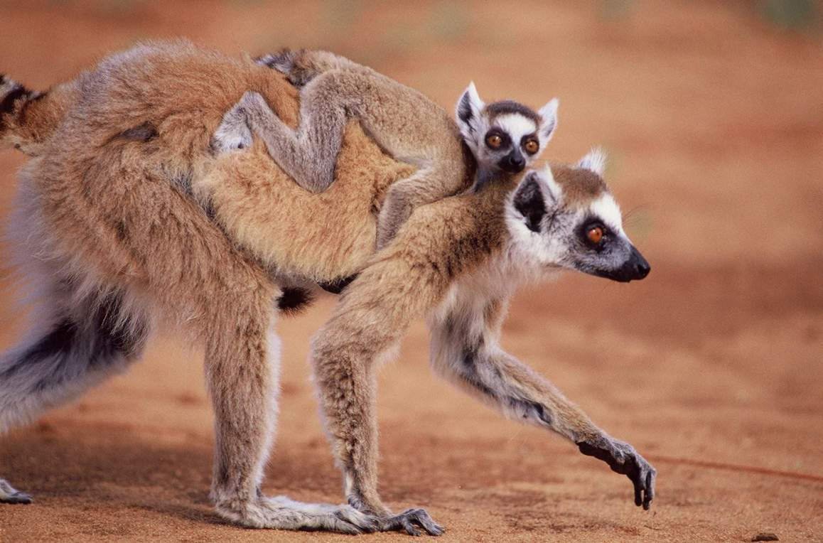 Ring-Tailed Lemur Baby