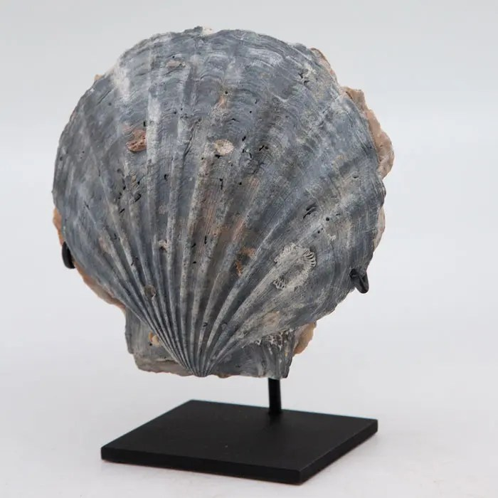 large-blue-fossilized-pecten
