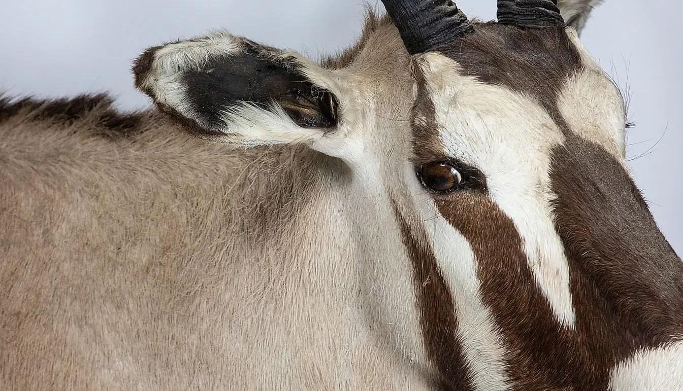 gemsbock- taxidermy-mount