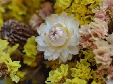 Elicriso fiori Immortelle Helycrisum Italicum