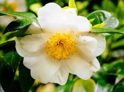 Gallocatechine Camelia Sinensis Kuntze