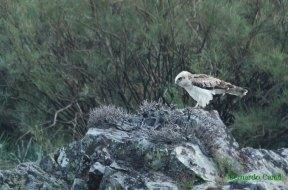 ÁGUILA CULEBRERA (Circaetus gallicus) short-toed snake Eagle