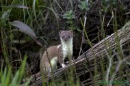Armiño (Mustela erminea) short-tailed weasel or stoat