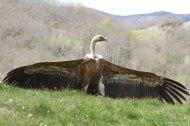 Buitre leonado (Gyps fulvus). Griffon vulture