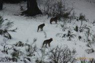 Lobo (Canis lupus), grey Wolf