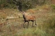 Ciervo común o venado (Cervus elaphus), ciervo rojo, ciervo colorado, redeer