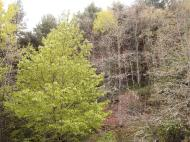 Crémenes, cerezo, roble, pino El Vallejo 29 abril 2011 7490