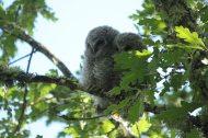 Cárabo, (Strix aluco). Tawny owl or brown owl