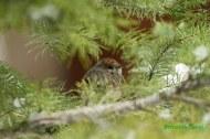 Curruca capirotada (Sylvia atricapilla), blackcap