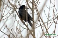 Graja o grajo (Corvus frugilegus), rook