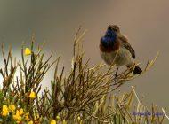 Pechiazul (Luscinia svecica) bluethroat