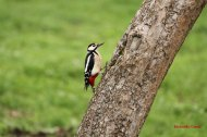 Pico picapinos (Dendrocopos major), great spotted woodpecker