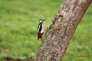 Pico picapinos (Dendrocopos major), great spotted woodpecker