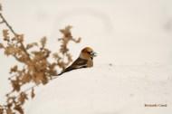 Picogordo Coccothraustes coccothraustes, hawfinch