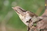 Torcecuello (Jynx torquilla), Eurasian wryneck