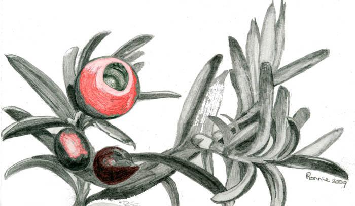 yew berry 700 pix