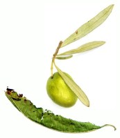 Olivenblätter mit Zitronenverbene
