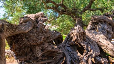 alter Olivenbaum 7