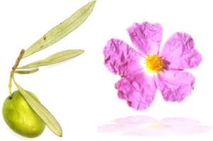 Olivenblätter mit Zistrose