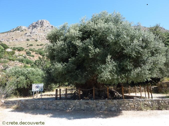 Crete, Kavousi, olivier millénaire
