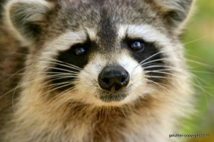 Raccoon (photo by George Luther)