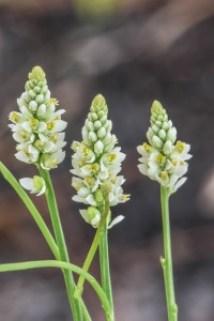 Polygala setacea (coastalplain milkwort)