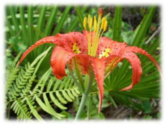 Pine lily
