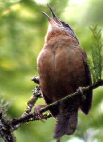 A Carolina Wren sings to define and defend its territory.