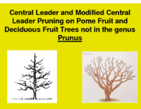 Central Leader & Modified Central Leader Pruning Presentation