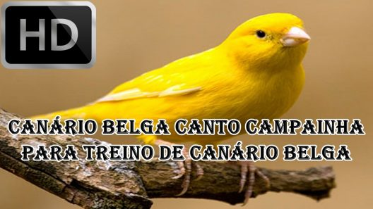 CANARIOS BELGAS PARA CANTOS BAIXAR DE