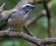 trinca-ferro (Saltator similis)