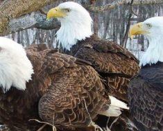 Duas águias macho e uma fêmea formam família e cuidam juntas de seus filhotes