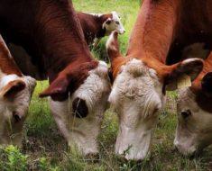 Curiosidades Sobre A Vaca