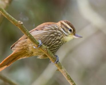 Saiba Tudo Sobre o Bico virado carijó   Casa dos Pássaros