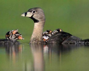 Saiba Tudo Sobre o Mergulhão caçador   Casa dos Pássaros